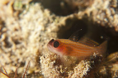 Pygmy goby Royalty Free Stock Photo