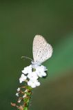 Pygmy Grass Blue Stock Images