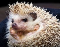 Pygmy hedgehog Stock Photography