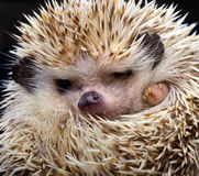 Pygmy hedgehog Stock Image