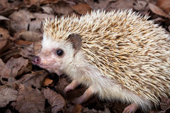 Pygmy hedgehog Royalty Free Stock Images