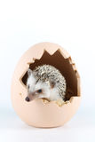 Pygmy hedgehog. African pygmy hedgehog in egg shell royalty free stock image