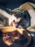 Pygmy hedgehog stock photography