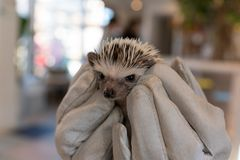 Cuddly hedgehog. A pygmy hedgehog peering out from our gloves Stock Image