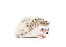 Pygmy Hedgehog. Picture of a Pygmy Hedgehog royalty free stock photo