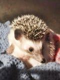 Pygmy hedgehog royalty free stock image
