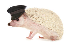 Pygmy hedgehog wearing chauffeur hat stock images