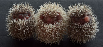 Pygmy hedgehogs. Stock Photography