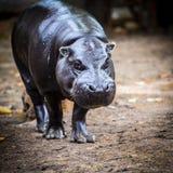 Pygmy hippo στις άγρια περιοχές Στοκ εικόνες με δικαίωμα ελεύθερης χρήσης