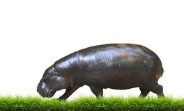 Pygmy hippo την πράσινη χλόη που απομονώνεται με Στοκ φωτογραφία με δικαίωμα ελεύθερης χρήσης