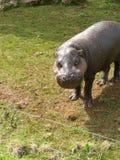 PYGMY HIPPO Στοκ φωτογραφίες με δικαίωμα ελεύθερης χρήσης