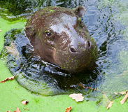 Pygmy hippo Royalty Free Stock Photo