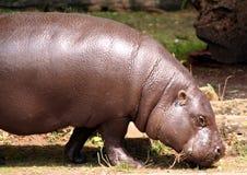 Pygmy Hippo Royalty-vrije Stock Afbeelding