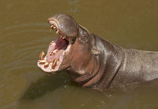 Pygmy hippo stock photography