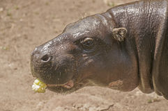 Pygmy hippo Stock Photos