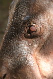 Pygmy hippo stock foto's