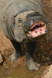 Pygmy hippo with big smile Stock Photos