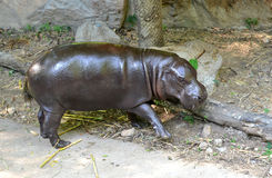 Pygmy hippo Stock Images