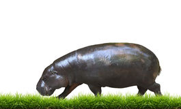 Pygmy hippo with green grass isolated Royalty Free Stock Photography