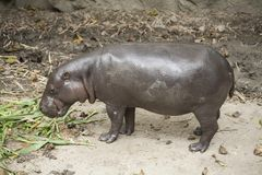 Pygmy Hippo / pygmy hippopotamus is a small. Pygmy Hippo , pygmy hippopotamus is a small stock image