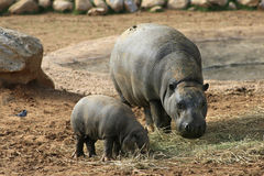 Pygmy hippo met baby Royalty-vrije Stock Afbeelding