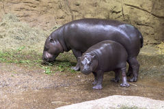 Pygmy Hippo - mother and baby Royalty Free Stock Photography