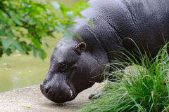 Pygmy hippo by the pool Stock Photos