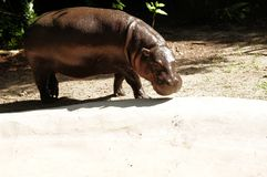 Pygmy hippopotamus Royalty Free Stock Image