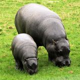 Pygmy Hippopotamus 10. Pygmy Hippopotamus and her baby royalty free stock images