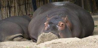 Free Pygmy Hippopotamus Royalty Free Stock Image - 11092356