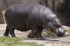 Pygmy hippopotamus. The pygmy hippopotamus (Choeropsis liberiensis or Hexaprotodon liberiensis) is a large mammal native to the forests and swamps of western royalty free stock images