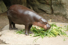 Pygmy hippopotamus. In Chiang Mai Night Safari royalty free stock photo