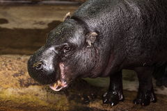 Pygmy hippopotamus. The detail of pygmy hippopotamus (Choeropsis liberiensis or Hexaprotodon liberiensis stock photos