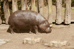 Pygmy hippopotamus. (Hexaprotodon liberiensis) is walking after a meal in the sun royalty free stock photo