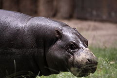 Pygmy hippopotamus. The detail of pygmy hippopotamus royalty free stock photo