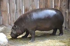 Pygmy Hippopotamus Royalty Free Stock Photo