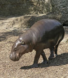 Pygmy Hippopotamus. In sunny ambiance royalty free stock photos
