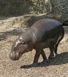 Pygmy Hippopotamus Royalty Free Stock Photos