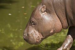 Pygmy hippopotamus. The pygmy hippopotamus  is a small hippopotamus native to the forests and swamps Stock Photos