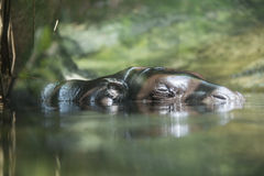 Pygmy Hippopotamus Royalty Free Stock Photos