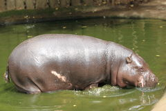 Pygmy hippopotamus. The pygmy hippopotamus in water royalty free stock image