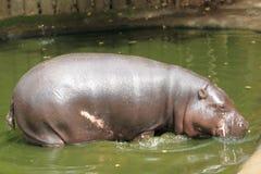 Pygmy hippopotamus στοκ εικόνα με δικαίωμα ελεύθερης χρήσης