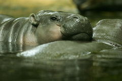 Pygmy Hippopotamus. A shot of an Pygmy Hippopotamus stock photo