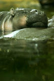 Pygmy Hippopotamus. A shot of an Pygmy Hippopotamus royalty free stock photography