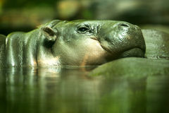 Pygmy Hippopotamus Royalty Free Stock Photography