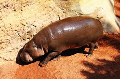 Pygmy hippopotamus. Stock Images