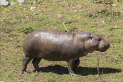 Pygmy hippopotamus (Choeropsis liberiensis). On land stock photography