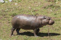 Pygmy hippopotamus (Choeropsis liberiensis) Stock Photography