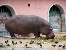 Pygmy Hippopotamus Or Choeropsis Liberiensis With Pigeons. Pygmy Hippopotamus or Choeropsis liberiensis eating hay with pigeons at the Lisbon Zoo Lisbon Portugal stock photography