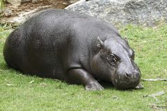 Pygmy hippopotamus Choeropsis liberiensis. Pygmy hippopotamus in its natural habitat stock photo